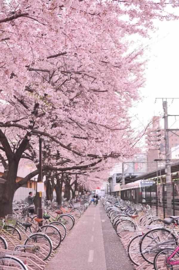 cerisier-japonais-ubne-allée-pour-les-vélos