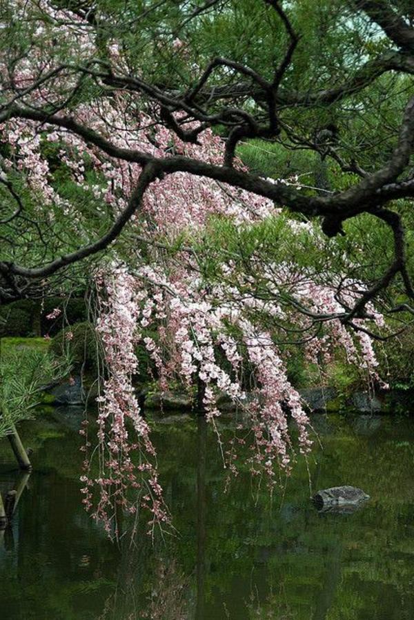 cerisier-japonais-un-arbre-pleureur-fleuri