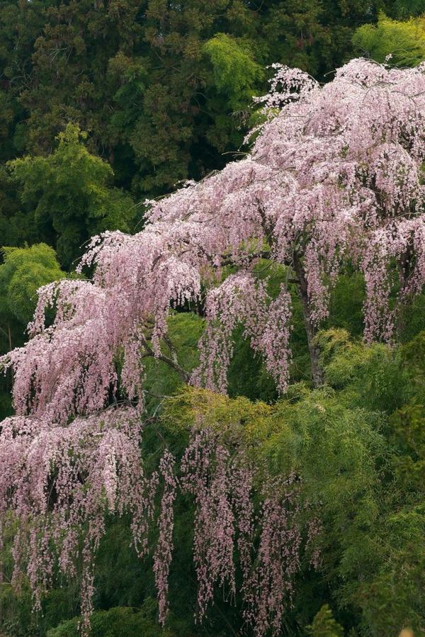 cerisier-japonais-un-cerisier-pleureur