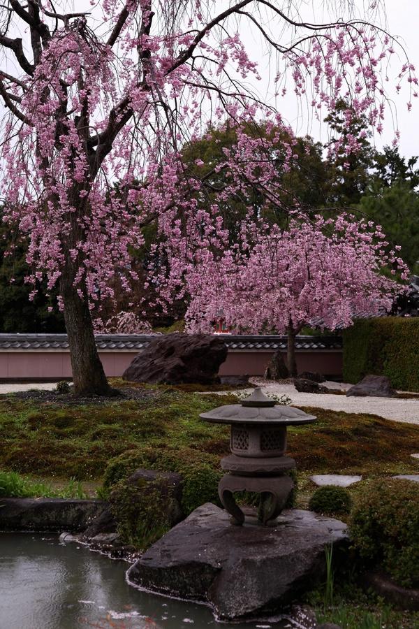 cerisier-japonais-un-jardin-japonais-et-des-cerisiers-fleuris