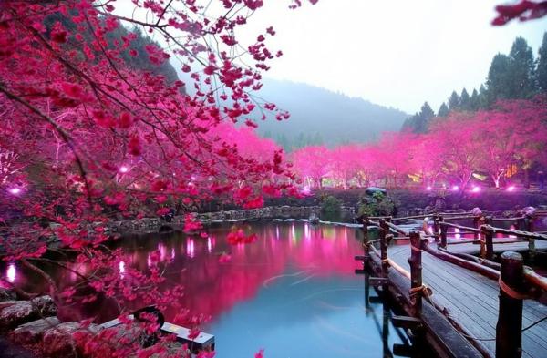 cerisier-japonais-un-lac-éclairé-et-beaux-cerisiers-fleuris