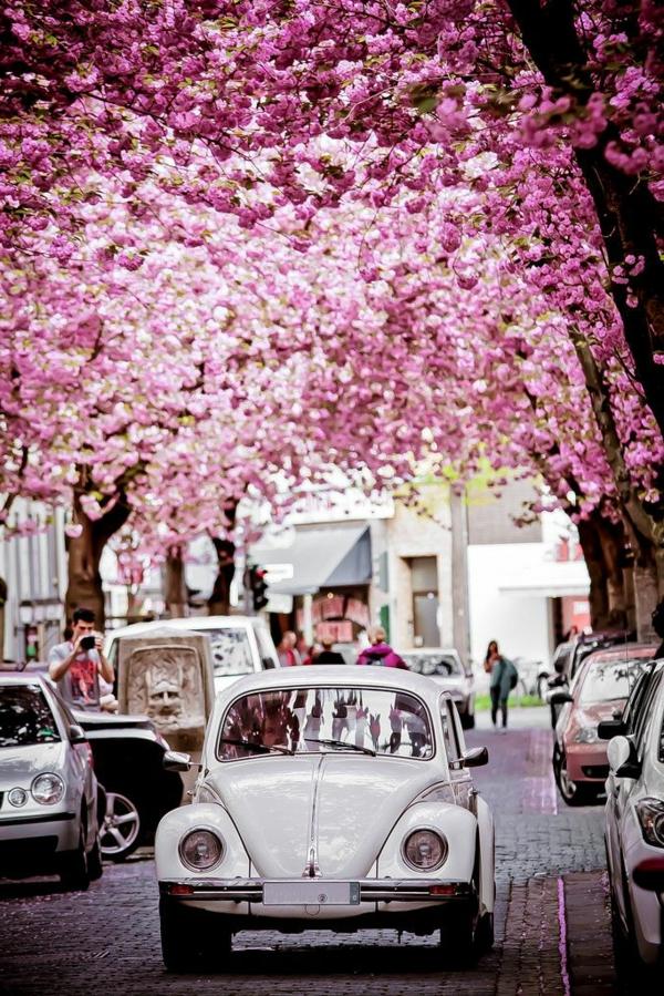 cerisier-japonais-un-paradis-en-pleine-ville