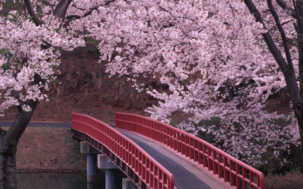 cerisier-japonais-un-petit-pont-japonais