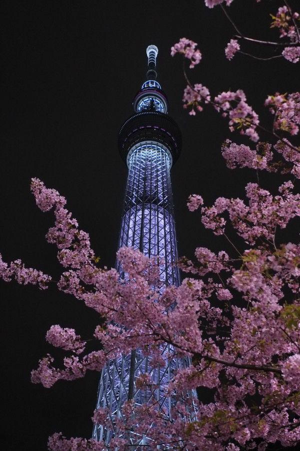 cerisier-japonais-un-tour