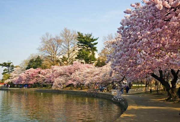 cerisier-japonais-une-allée-de-cerisiers