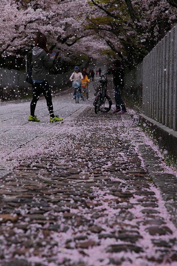 cerisier-japonais-une-allée-enneigée-de-pétales