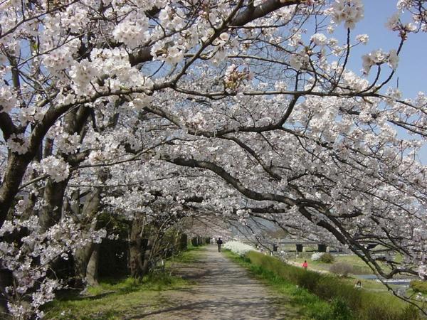 cerisier-japonais-une-allée-miraculeuse