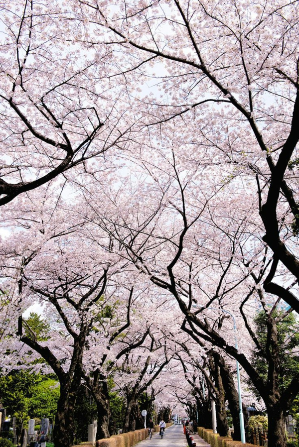 cerisier-japonais-une-allées-sous-les-cerisiers-fleuris