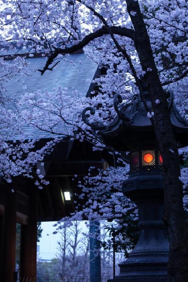 cerisier-japonais-vue-énigmatique