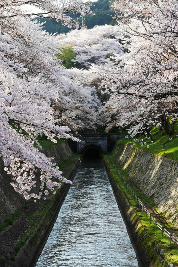 cerisier-japonais-vue-urbaine