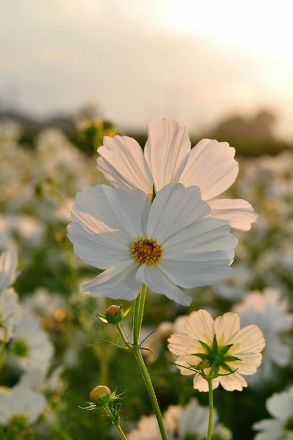 haie-de-fleur