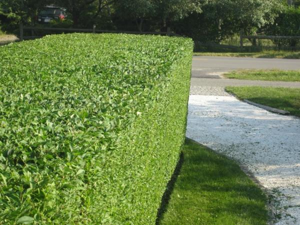haie-verte-jardin