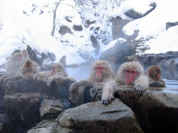 Source-d-eau-chaude-Jigokudani-Monkey-park- Japan