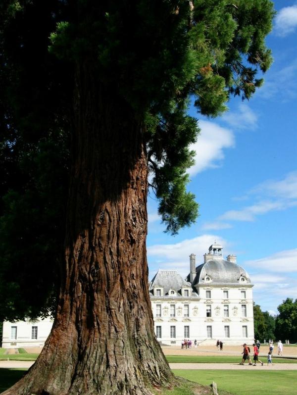 les-châteaux-de-la-Loire-un-arbre-géant