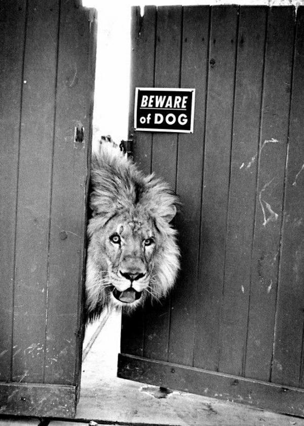 animaux-photographie-d-un-lyon-noir-et-blanc-chien-amusant-photo