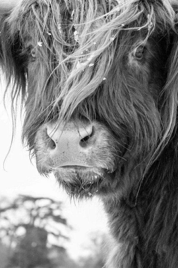 animaux-photographie-noir-et-blanc-animal-domestique-torreau
