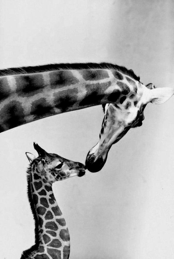 animaux-photographie-noir-et-blanc-giraffe-mere-et-enfant