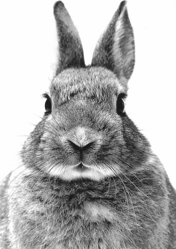 animaux-photographie-noir-et-blanc-lapin