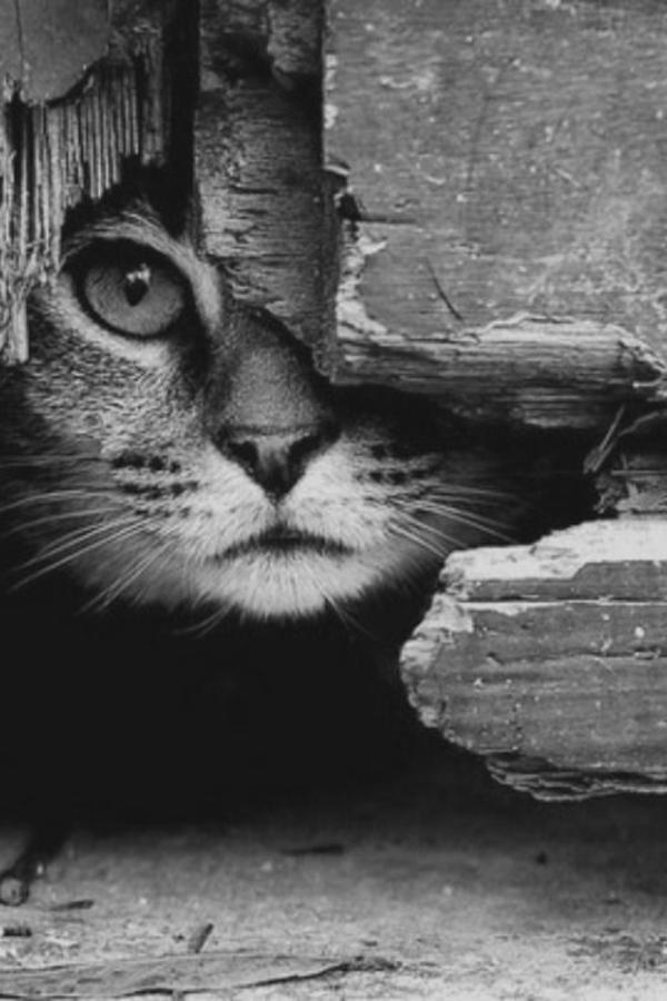 animaux-photographie-noir-et-blanc-le-chat-caché-chaton