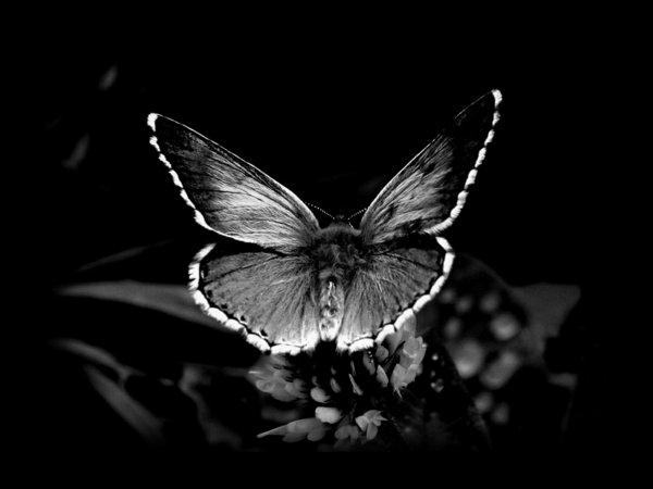 animaux-photographie-noir-et-blanc-papillon-macro-photo-art