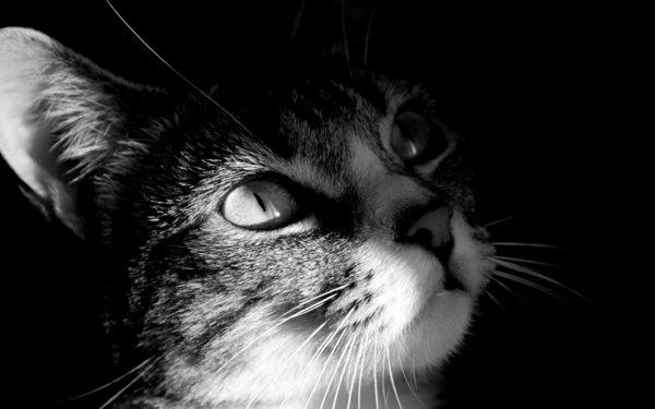 animaux-photographie-noir-et-blanc-zele-le-petit-chat-roar