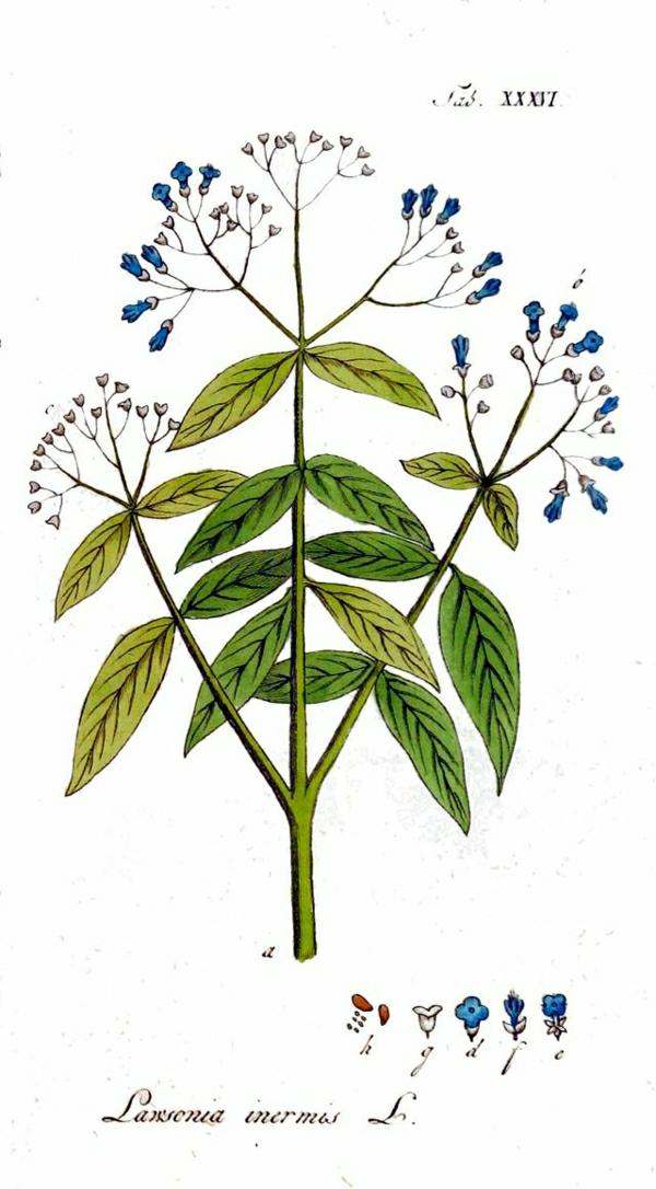 henné-naturel-tatouage-le-plant-henne