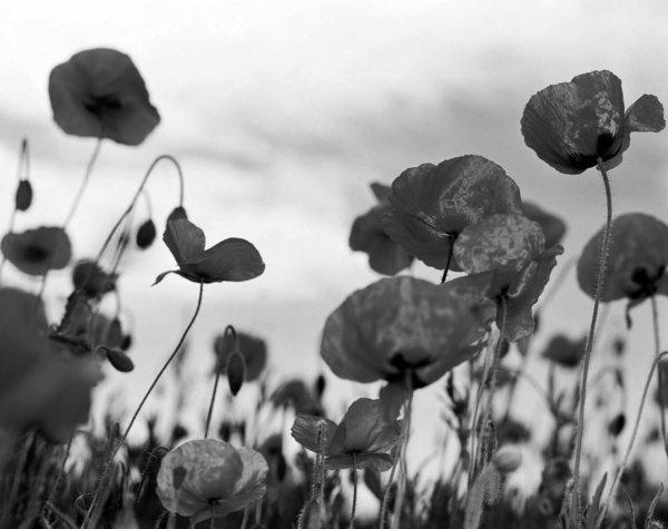photo-la-nature-fleurs-tulips-artistique-noir-et-blanc