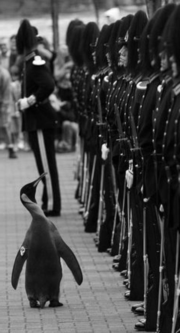 une-photographie-amusante-en-noir-et-blanc-pinguin-armee-rire
