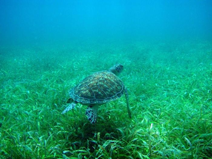 Flamenco-Beach-Tamarindo-Beach-Culebra-Puerto-Rico-tortue-océan-plantes-resized