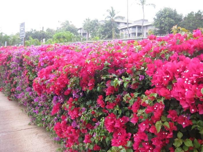 haie-avec-fleurs-le-vert-idée-jardin-rose-fleur-Haies fleuries