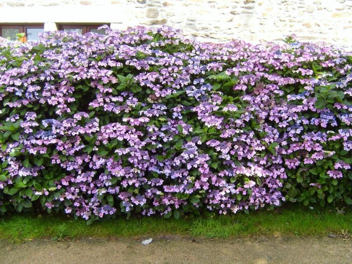 la haie fleurie id es cr atives pour l 39 ext rieur