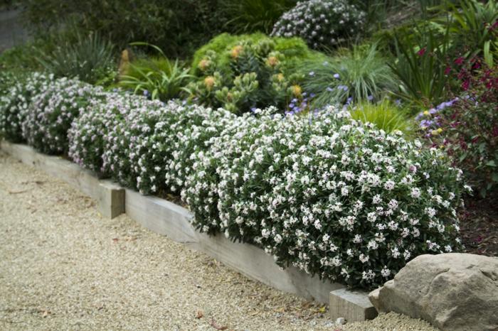 haie-persistant-fleurie-jardin-fleurs-blanches-beauté
