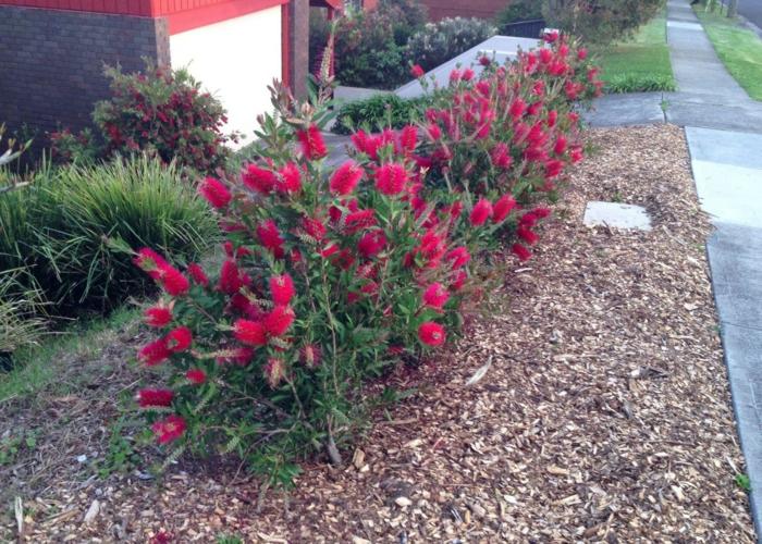 haie-persistant-fleurie-jardin-riose-fleur