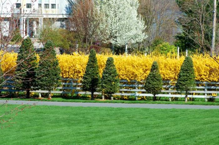 haies-fleuries-feuillage-persistant-haie-fleurie-jaunes-arbres-printemps