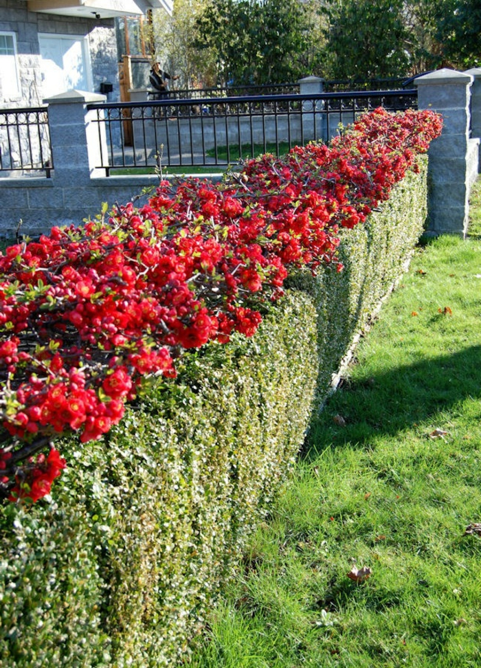 haies-fleuries-feuillage-persistant-maison-enclôs