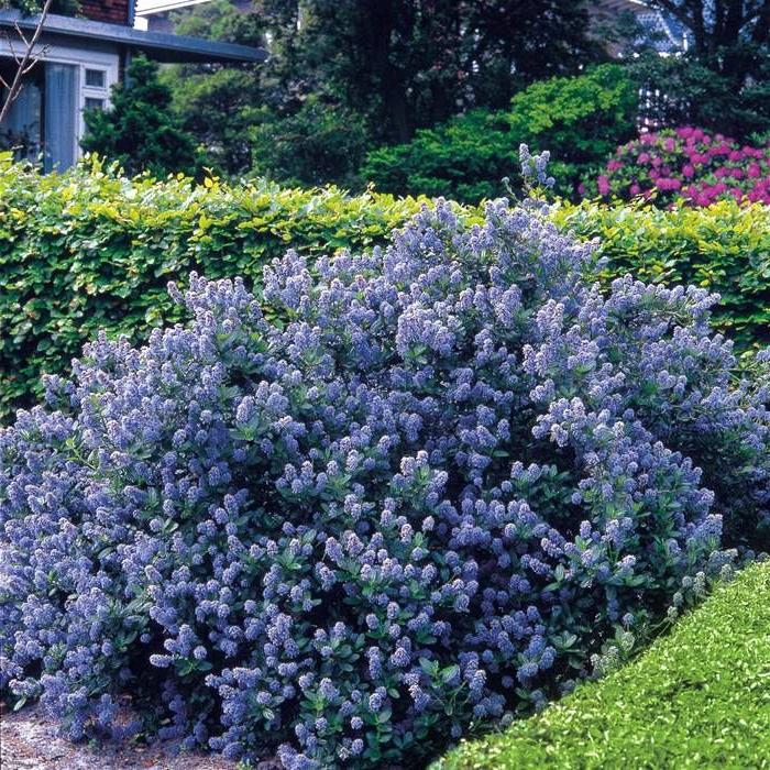 haies-fleuries-feuillage-persistant-violet