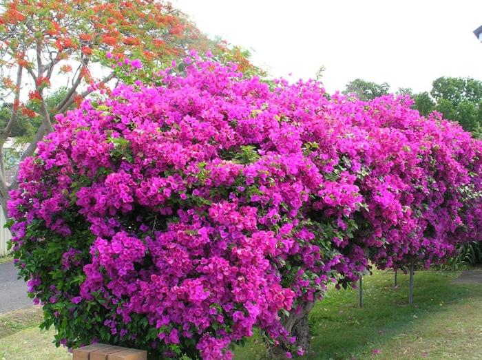 le-haie-fleurie-toute-l-année-arbisseaux-rose-fleurie-néon-rose