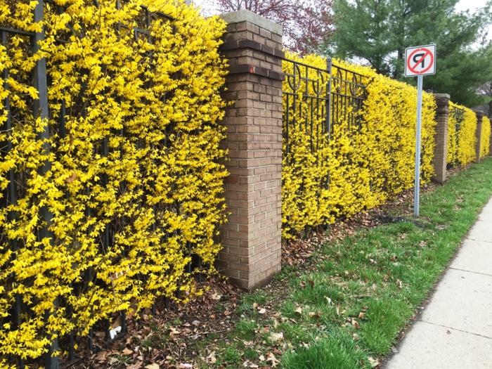 les-arbuste-fleurs-jaunes-jeunes-enclos-fleurie