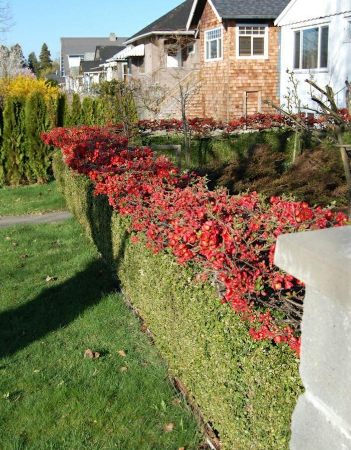 un-haie-fleurie-feuillage-persistant-haie-fleurie