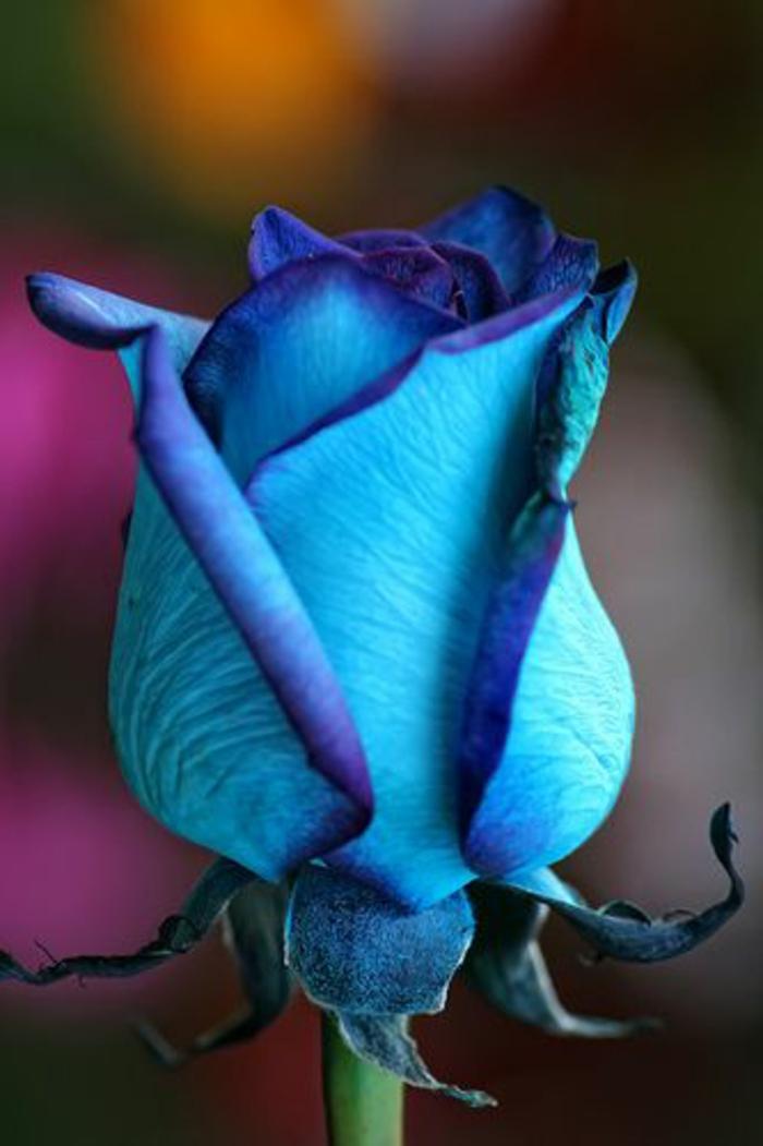 01-la-rose-bleu-signification-des-rose-quelle-est-la-signification-de-la-rose-bleu