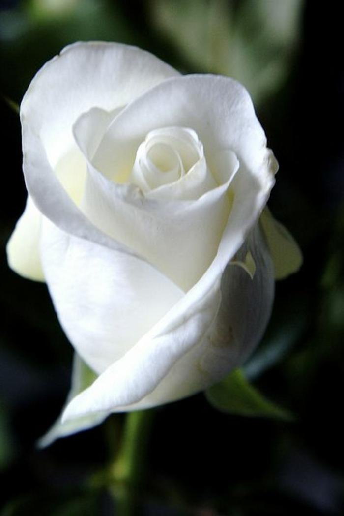 01-rose-blanc-quelle-est-la-signification-de-la-rose-blanche-bouquet-de-fleurs