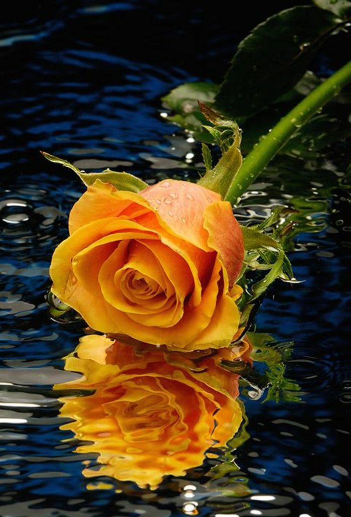 01-une-jolie-rose-jaune-quelle-est-la-signification-de-la-rose-jaune-belle-rose