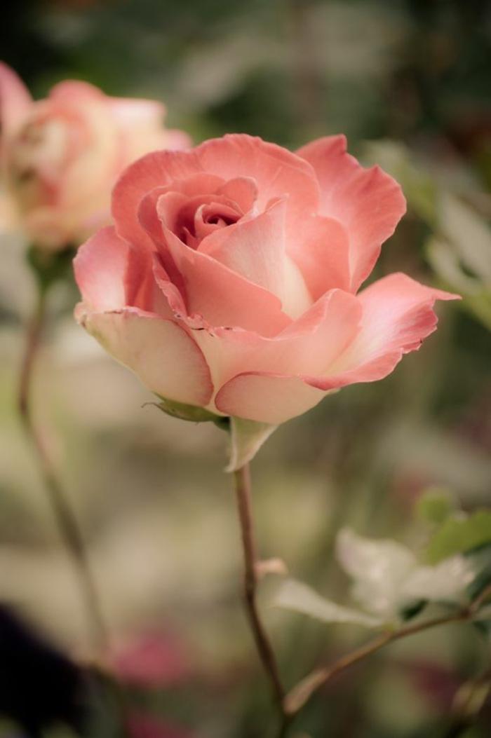 01-une-jolie-rose-quelle-est-la-signification-de-la-rose-belle-rose-signification-des-roses