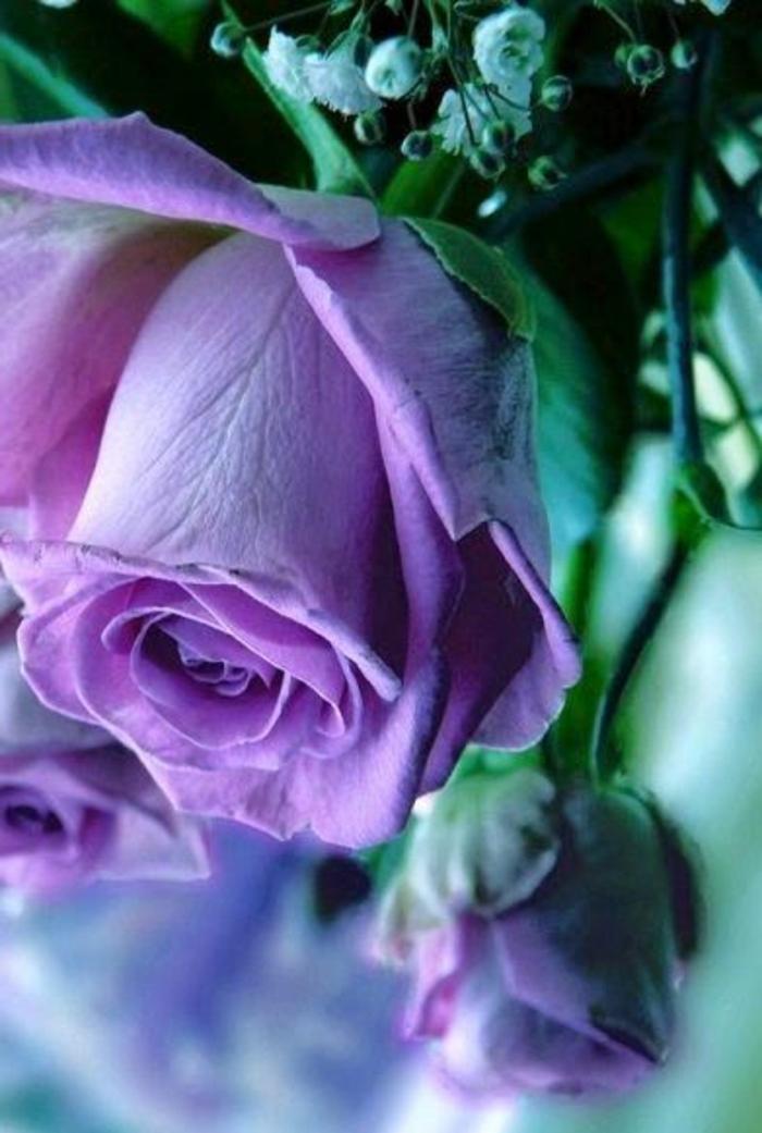 01-une-jolie-rose-violet-quelle-est-la-signification-de-la-rose-violet