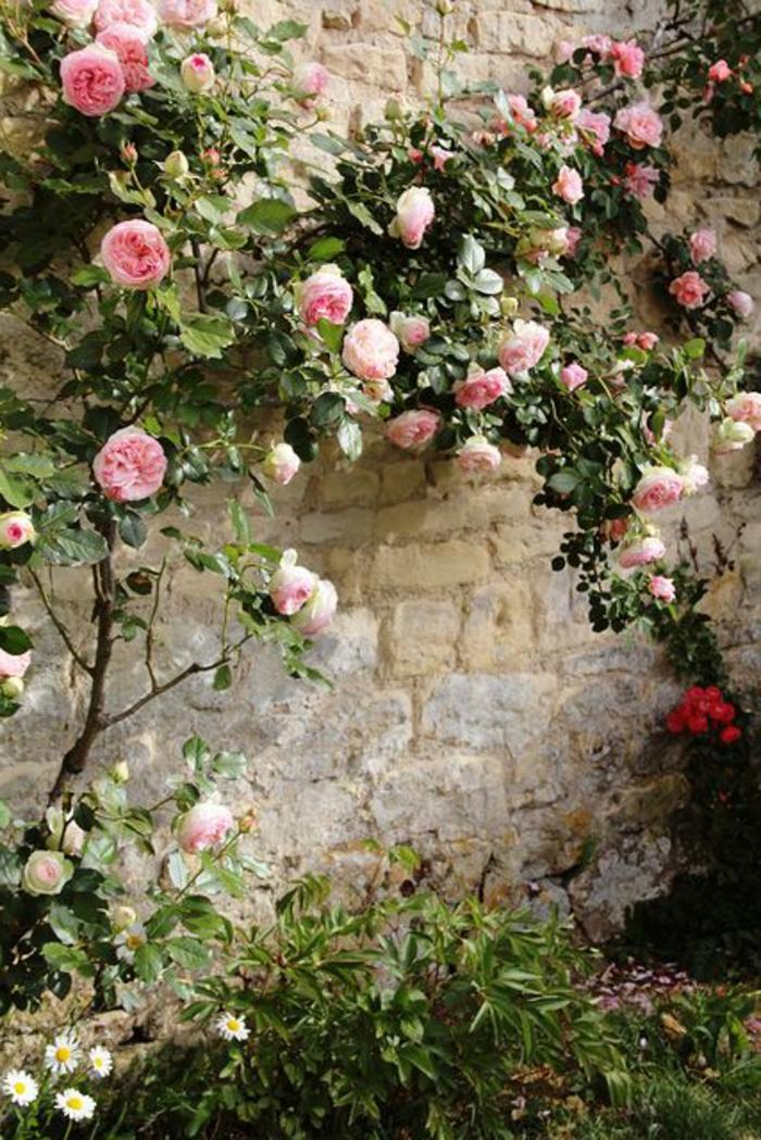 1-plante-grimpante-persistant-plante-grimpante-pour-le-jardin-haie-de-jardin-en-roses