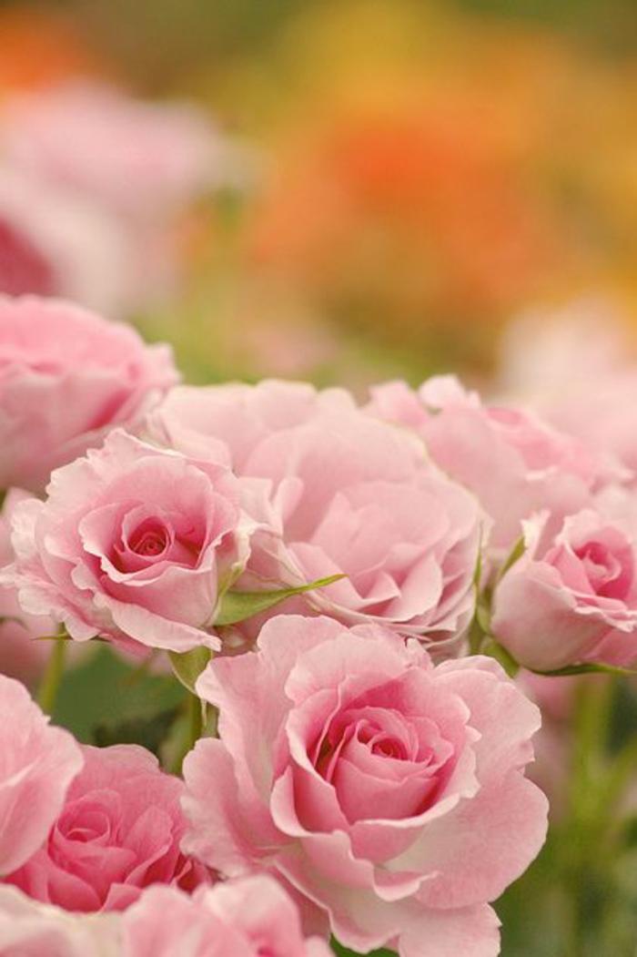1-signification-des-roses-roses-gros-bouquet-de-roses-symbole-rose-bouquet-de-roses