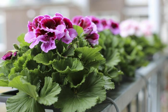 comment-avoir-un-balcon-fleuri-comment-fleurir-son-balcon-avec-pélargonium