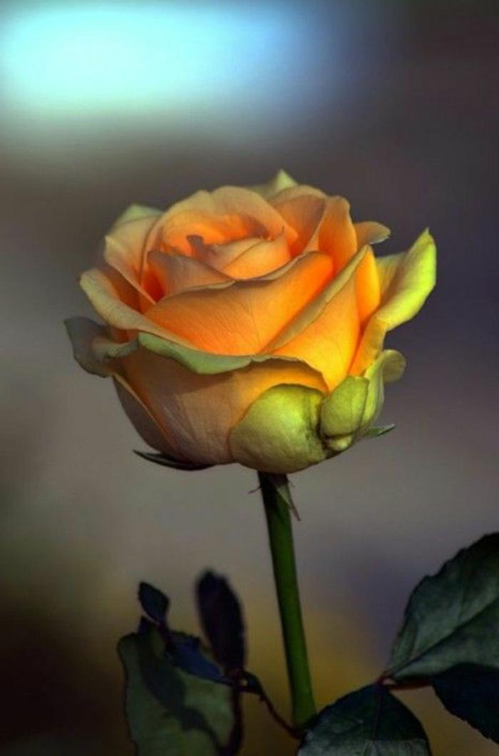 la-rose-jaune-signification-des-rose-quelle-est-la-signification-de-la-rose-jaune