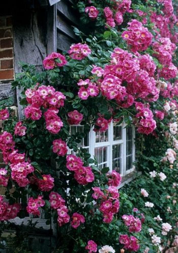 maison-avec-fleurs-sur-les-murs-plante-grimpante-persistant-fleurs-violets-d-extérieur