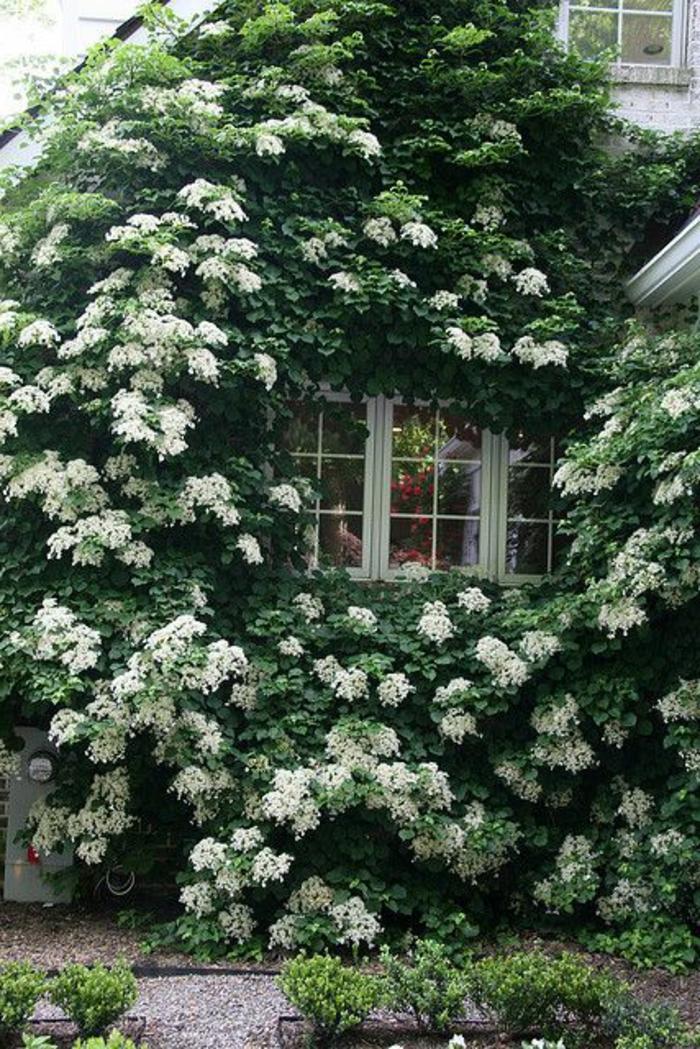 Les plantes grimpantes beaucoup d 39 id es pour le jardin for Plante persistante